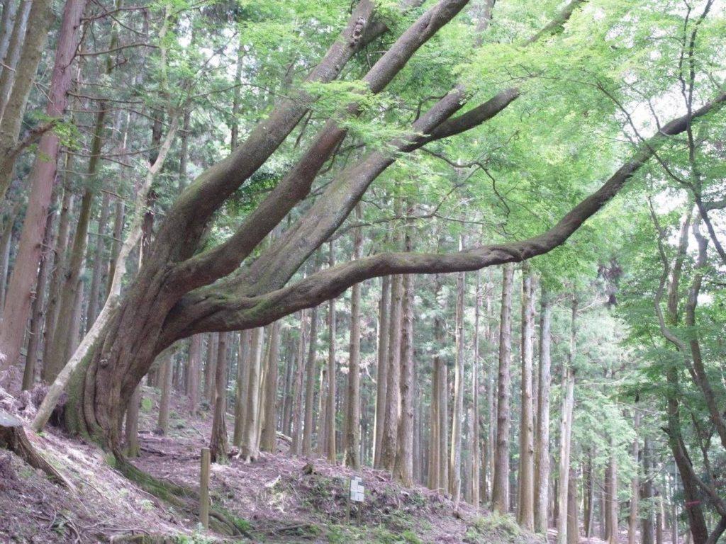 奥山ドライブウェイの山桜の大木。いつ見てもかっこいい。 photo aoi kawano